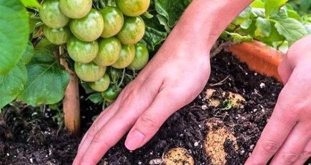 rosia cartof